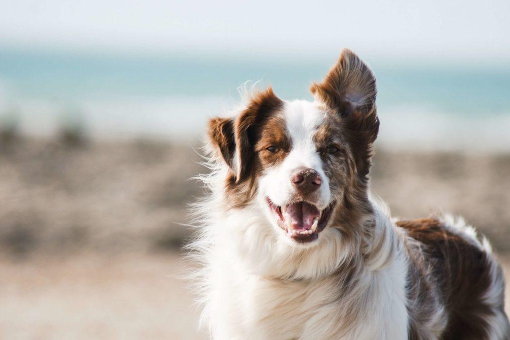 Dog ID Jaucot Mons